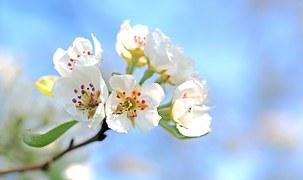 apple-blossoms-1368187__180