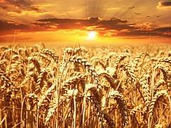wheat-field-640960__180