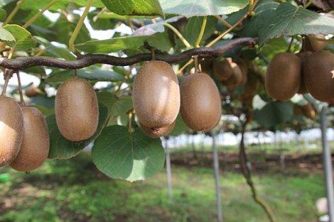 kiwi strom