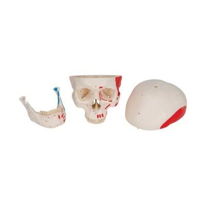 Classic Human Skull Model painted, 3 part - 3B Smart Anatomy..........