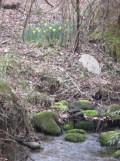 daffodils and moss