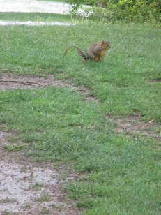 skinny-tailed squirrel