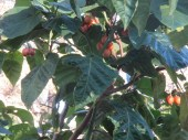 tomatoes in tree