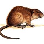 rat-musque-conseil-hygiene-solution
