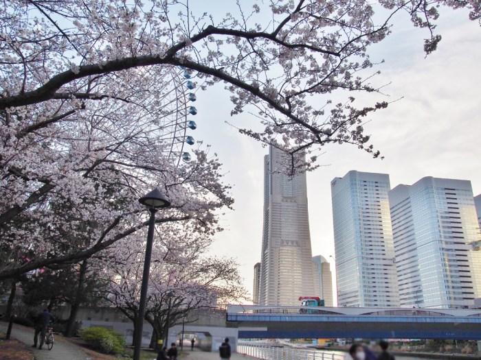 新港パークの桜並木