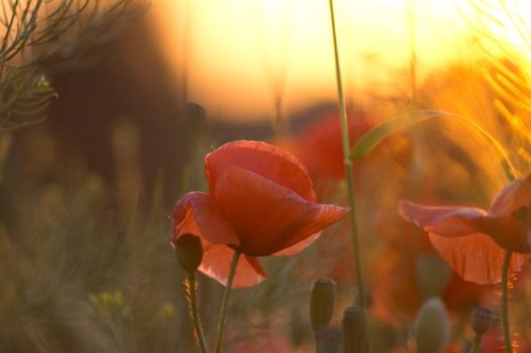 Mohn im Sonnenuntergang