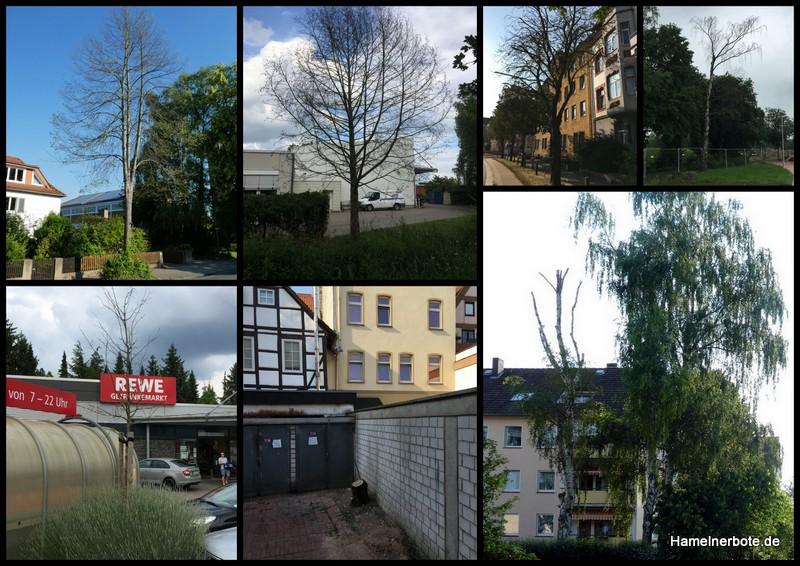 Bäumesterben in Hameln – Alarmierende Zeichen