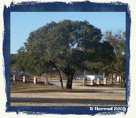 Pecan tree near entry of park.