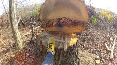 Here is a tree recently cut down in the Crerar area forest.