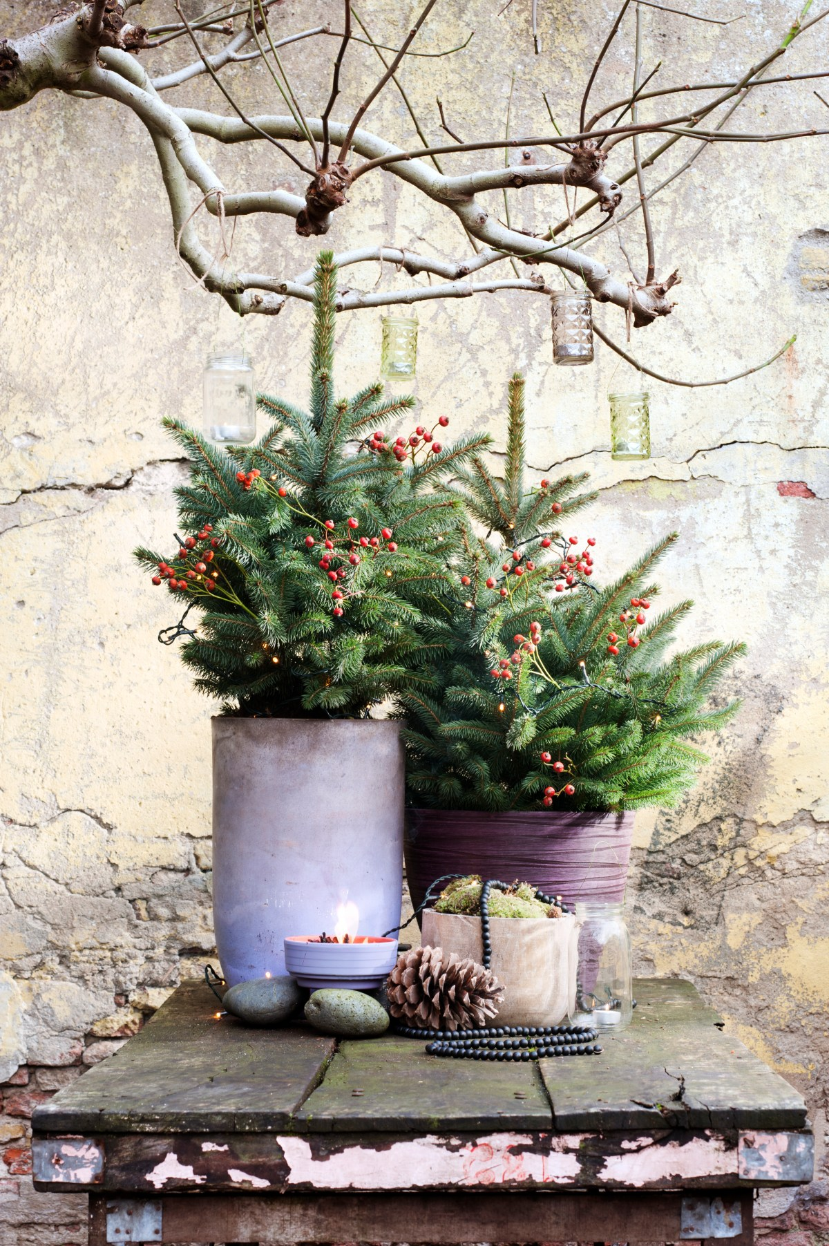 Spruce is the garden plant of December