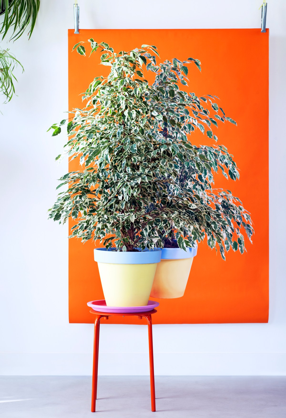 Ficus benjamina is the Houseplant for January