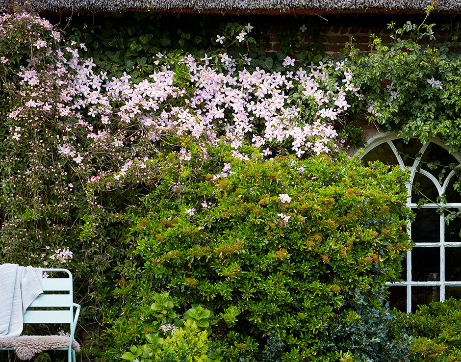 Garden Plant of the Month for April:  Clematis