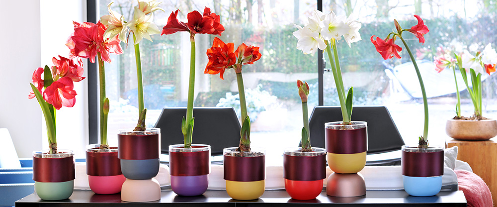 Amaryllis: houseplant of the month for December