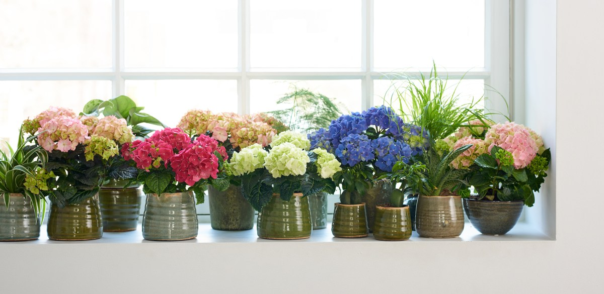 Houseplant of the month for April: Hydrangea