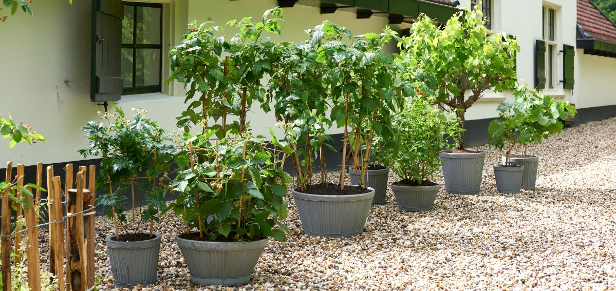 Garden Plant of the Month for June 2018: fruit climbers