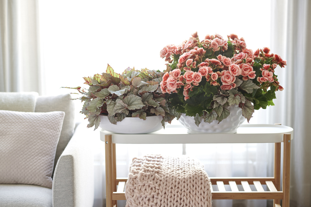Begonia: Houseplant of the Month for April