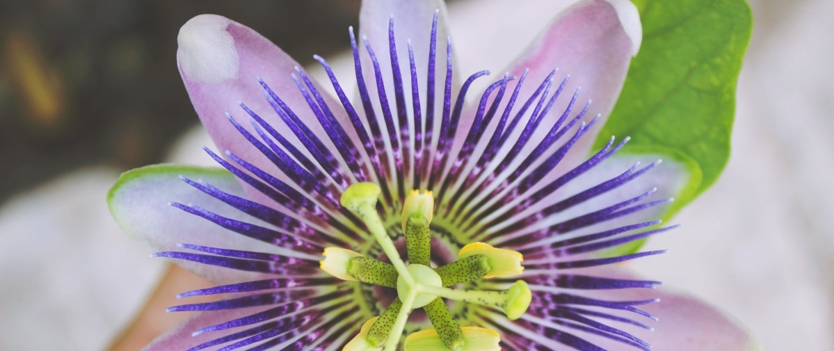 Passionflower is Patio Plant of the year!