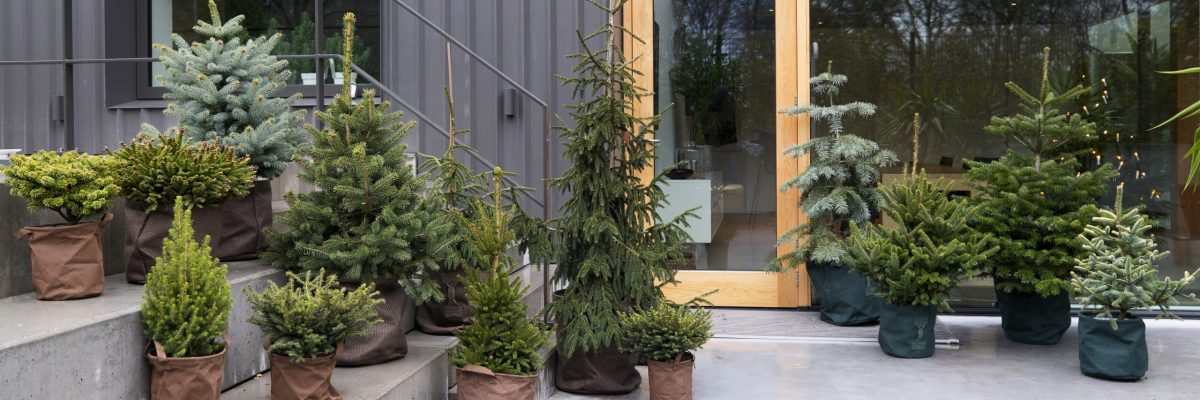 Festive pines: garden plants of the month for December
