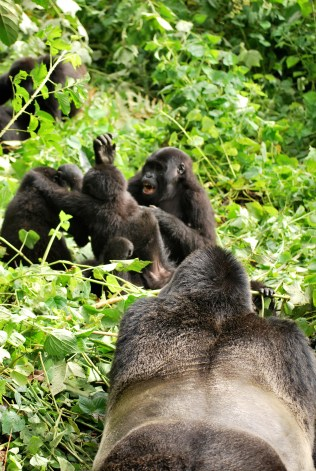 Silverback watching the rascals fighting