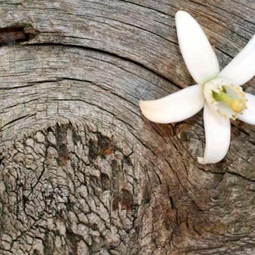 flor azahar