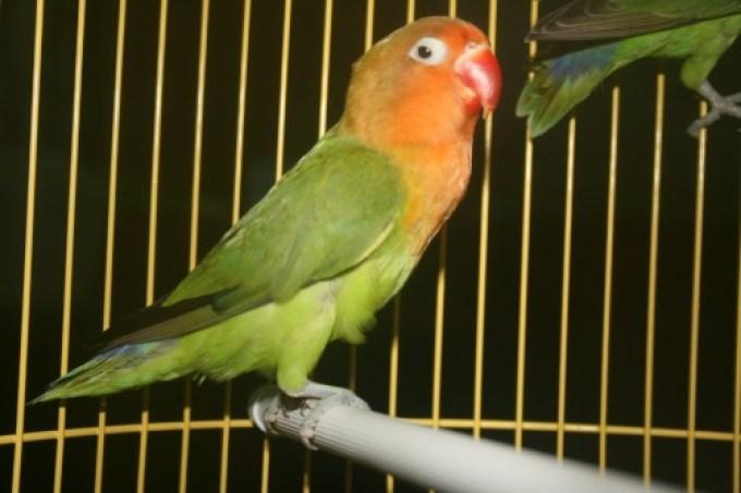 Hasil gambar untuk lovebird mabung
