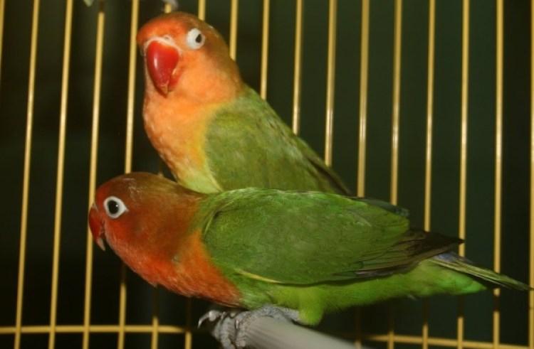 Hasil gambar untuk ternak lovebird
