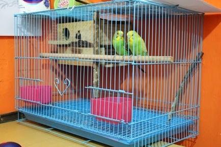 cara ternak lovebird terbaru