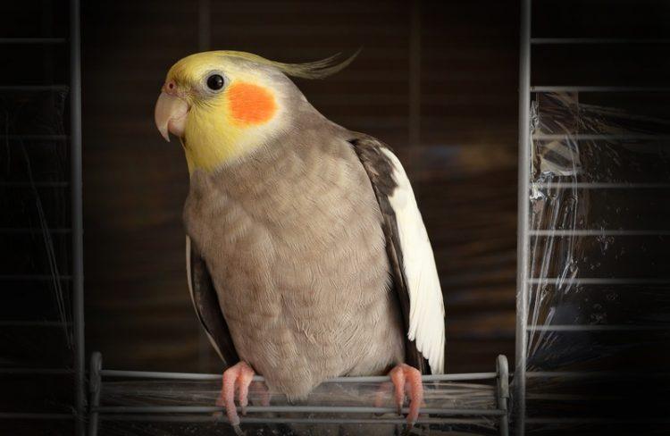warna lovebird