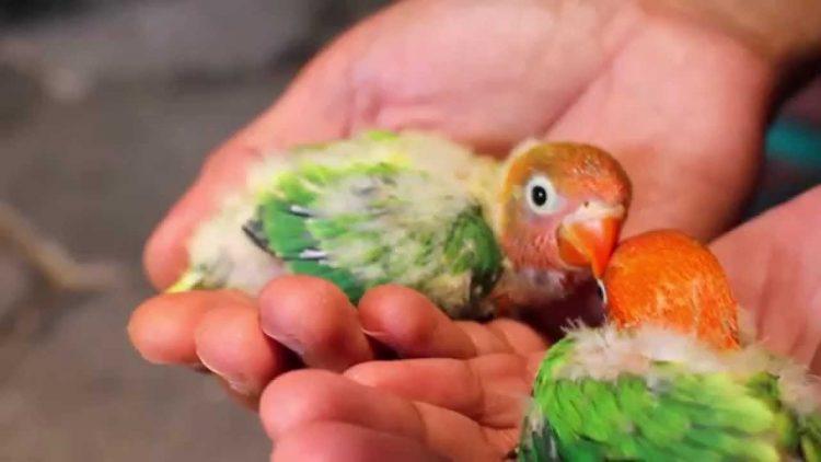 tata cara meloloh lovebird