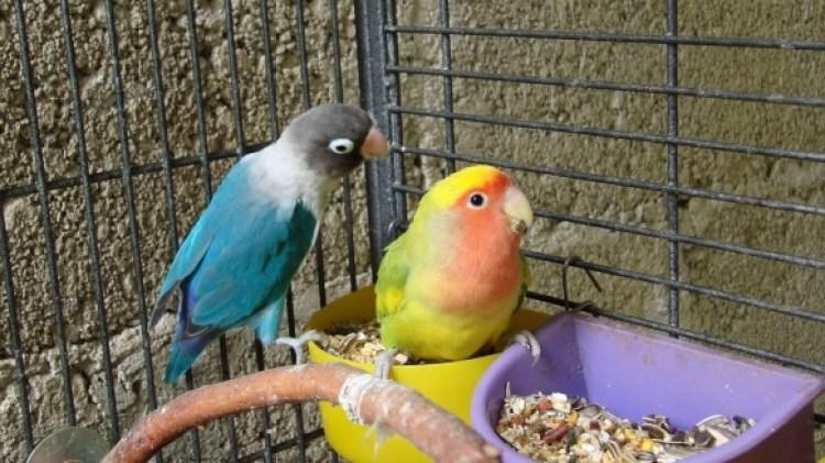 Hasil gambar untuk food lovebird sweet corn