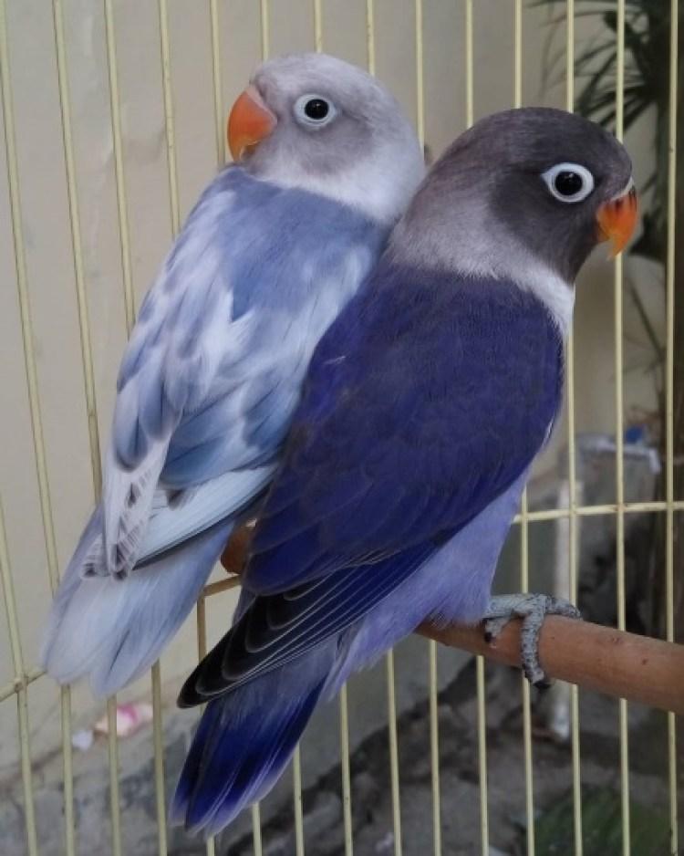 Hasil gambar untuk lovebird biru