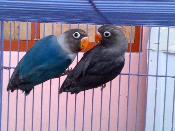 Hasil gambar untuk lovebird jantan dan betina