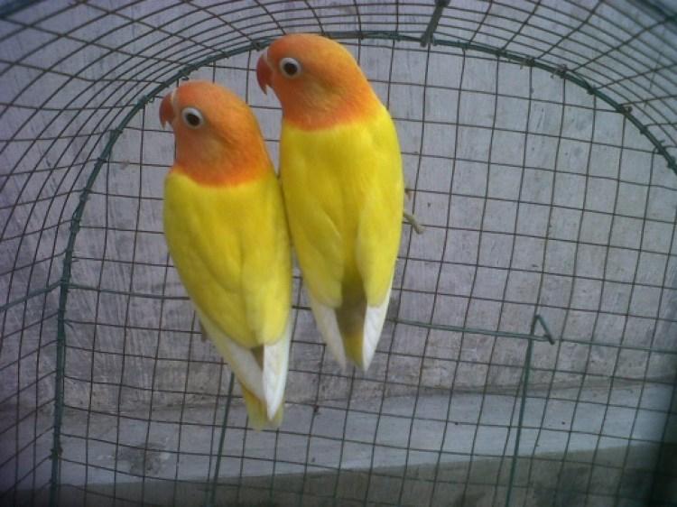 Hasil gambar untuk lovebird kuning
