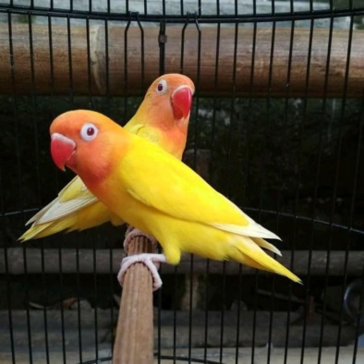Hasil gambar untuk lovebird lutino