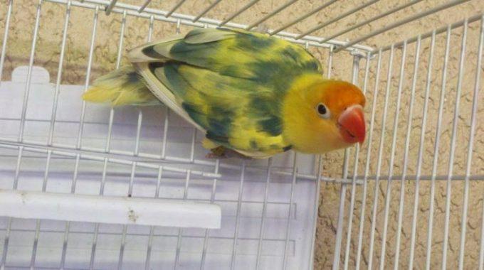 vitamin lovebird ultimate blorok