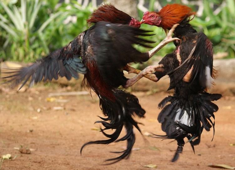 harga ayam bangkok aduan