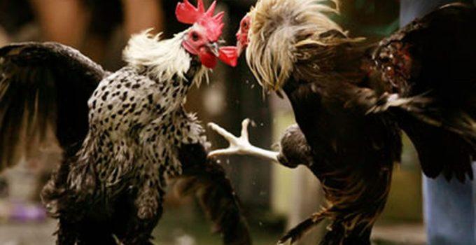 ayam bangkok aduan