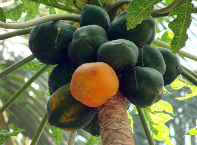 cara menanam pepaya agar cepat berbuah