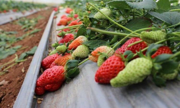 cara menanam strawberry di dataran rendah