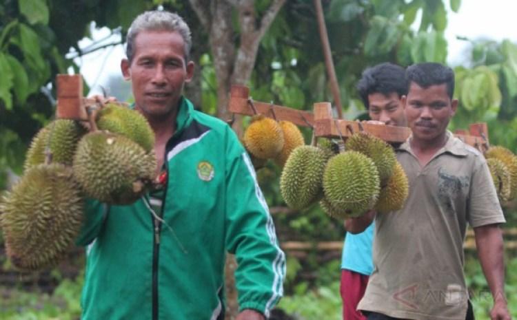 cara emananm bibit durian musang king