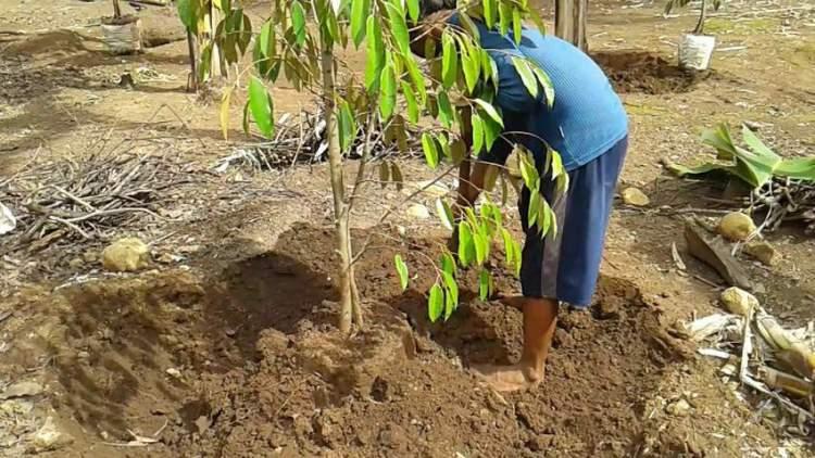 cara menanam bibit durian bawor