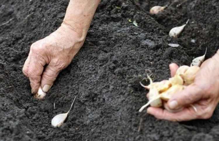 cara menanam bawang putih