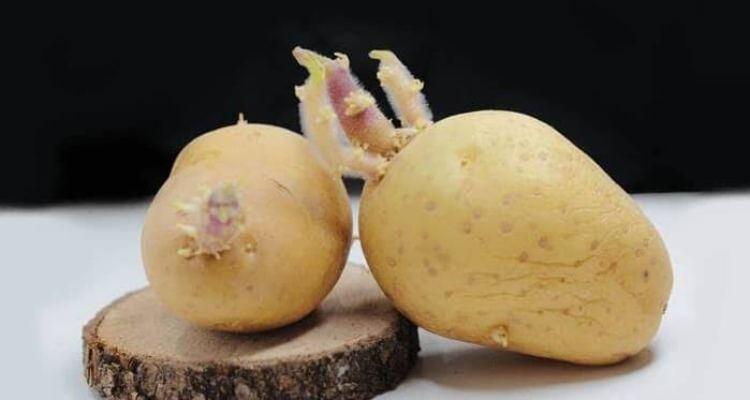 cara menanam kentang di pot