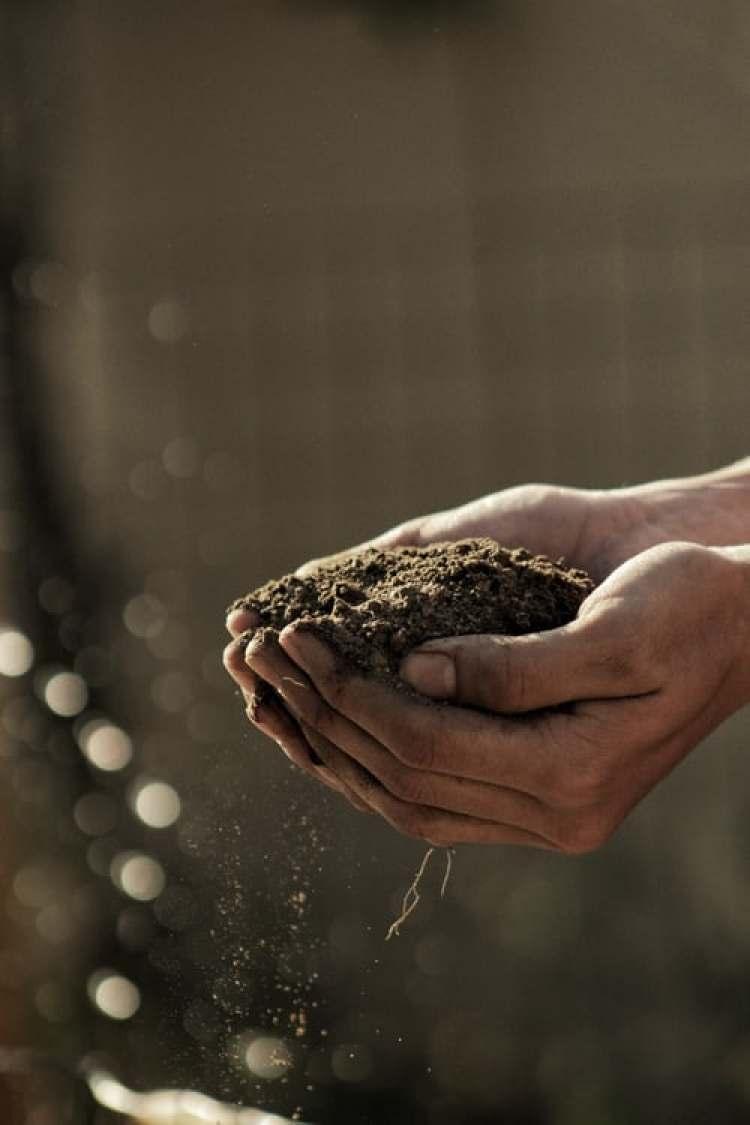 cara mencangkok tanaman kelengkeng