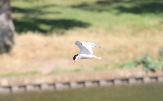 Common Tern - 5 Septmber 2012 - AB (2)