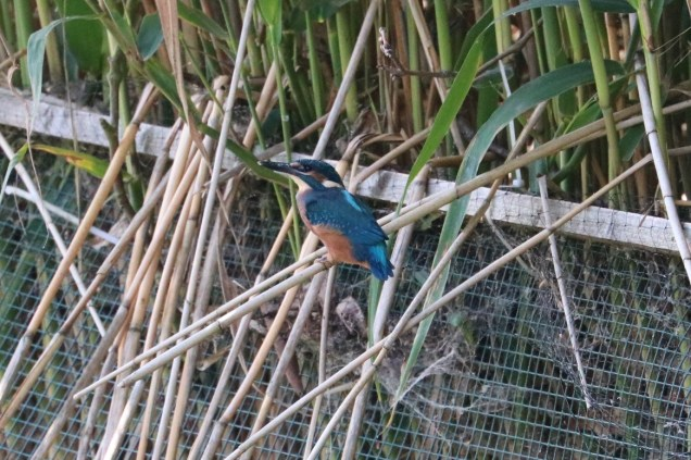 Kingfisher fledgling 7th July 2016crop (11)