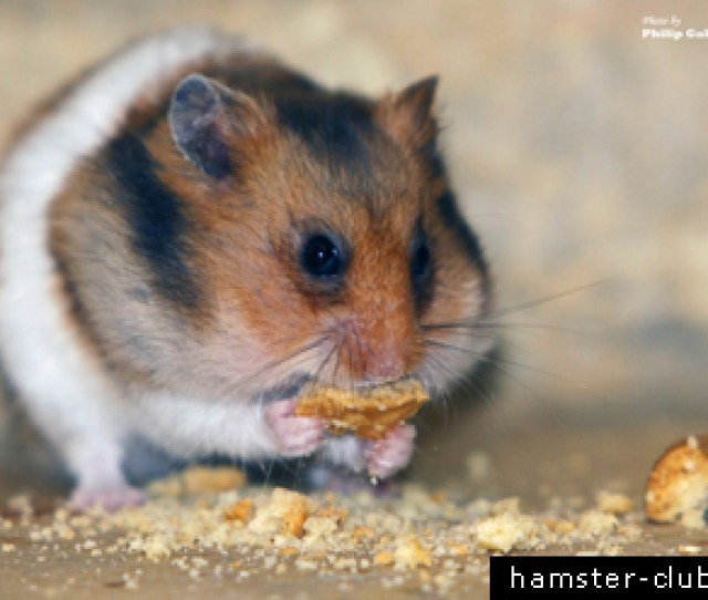 Will Normal Household Foods Poison My Hamster