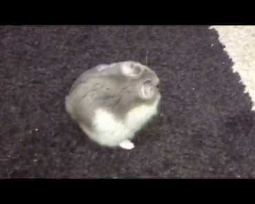 Funny hamster video - 1506498130 funny hamster video