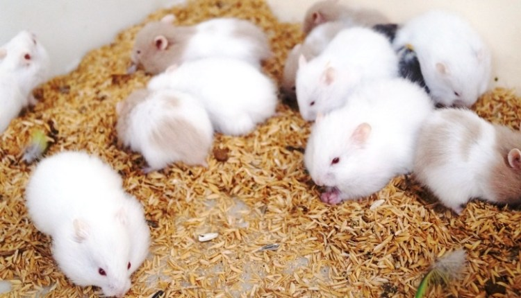 Places to get a hamster in Singapore