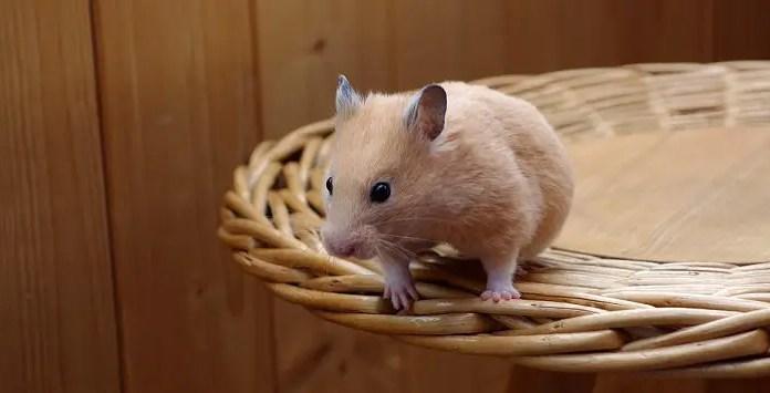 Can Hamsters Eat Pumpkin Seeds